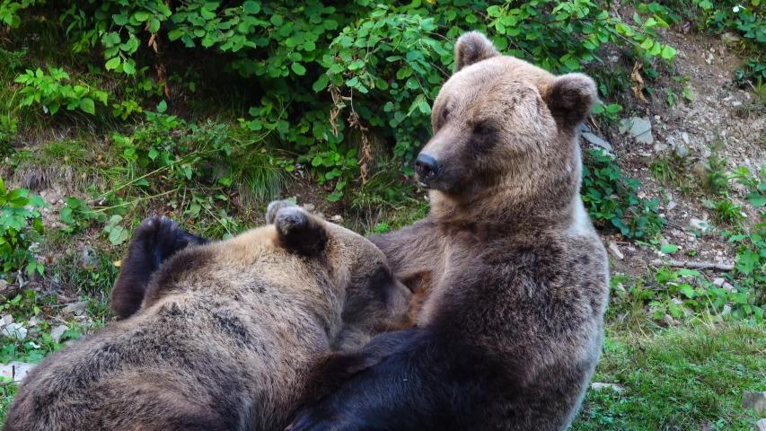 A bear mother feeds her baby breast milk.   Shutterstock HD Video #1041460789