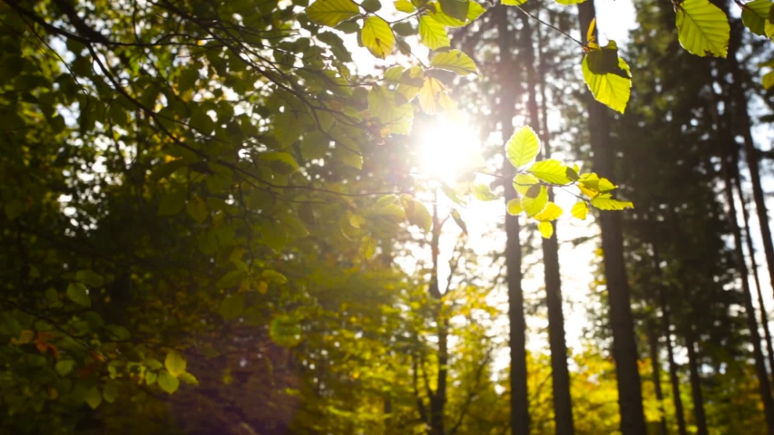 Serene tranquil forest scene with sun backlighting leaves, pan shot | Shutterstock HD Video #1042247269