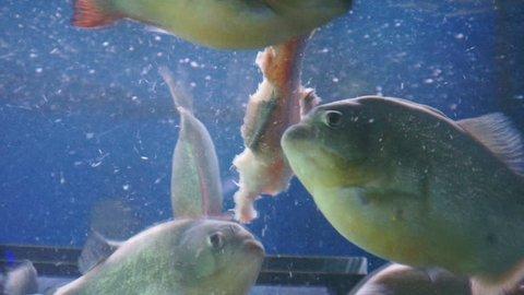flock of piranhas swim in aquarium