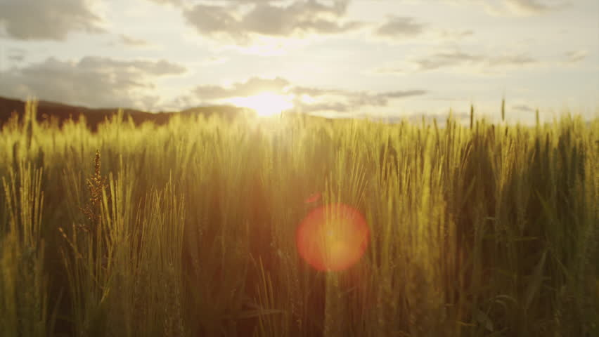 AERIAL SLOW MOTION: Flying above the field of young green wheat at sunrise