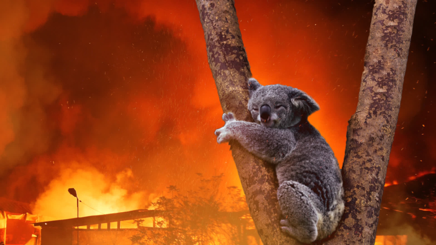 Koala Bear In Tree Caught In Australia Fire | Shutterstock HD Video #1044098509
