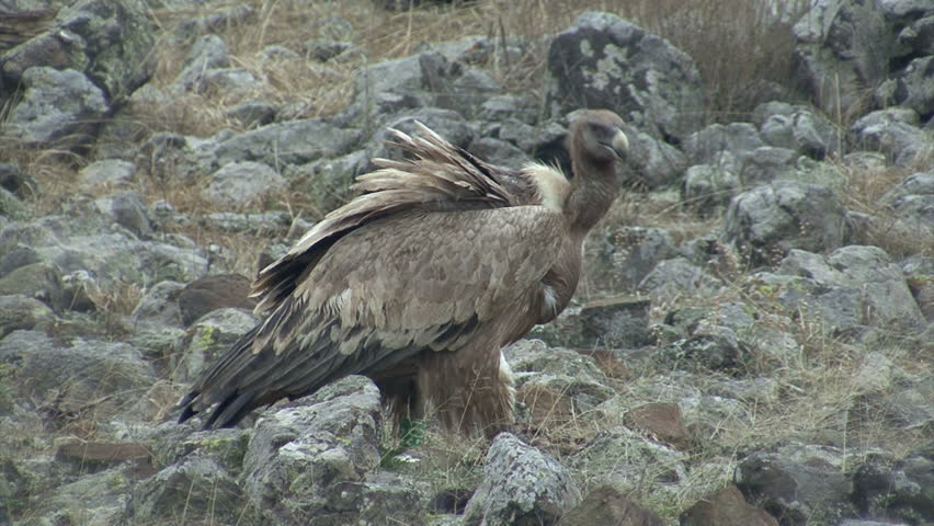Large group of Griffon Vultures eating carcass in the mountain range | Shutterstock HD Video #10460369