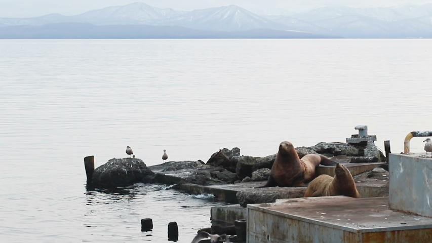 Sea lions rookery near bank of Kamchatka. Steller sea lions on the beach Steller sea lions on the beach