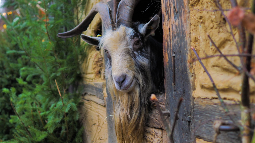 Male goat goat with long horns eating and peeping out of adobe window | Shutterstock HD Video #1046846389