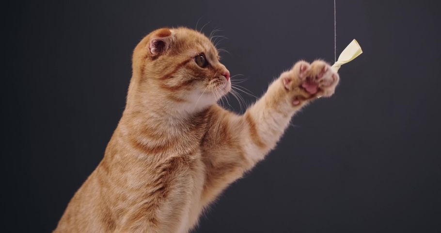 Red cat playing with a bow | Shutterstock HD Video #1046893369