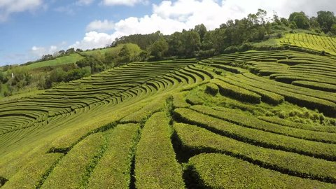 Aerial Footage Tea plantation at Cha Gorreana, Maia, San Miguel, Azores, Portugal