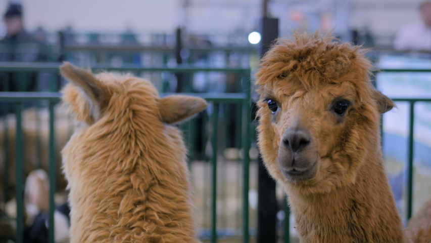 Portrait of brown alpaca looking around at agricultural animal exhibition, trade show - close up view of alpaca head. Farming, agriculture industry, livestock and animal husbandry concept | Shutterstock HD Video #1048017739