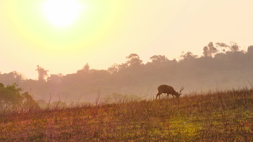 Hog Deer (Axis porcinus) male eating grass in forest in the morning with sunrise. Animal Wildlife, Nature background Asia Thailand.    Shutterstock HD Video #1048524019