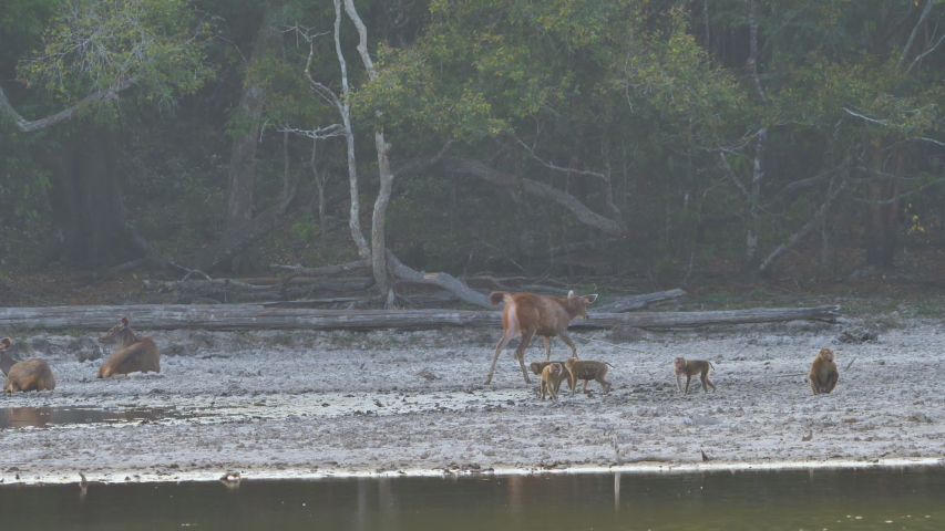 Herd of deer and monkey eating water in forest riverside and afternoon sunshine Asia Thailand. Slow Motion   Shutterstock HD Video #1048524079
