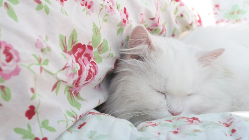 Beautiful, white, long-haired Persian cat, Ragdoll cat lies and sleeps on a flowery blanket   Shutterstock HD Video #1049243989