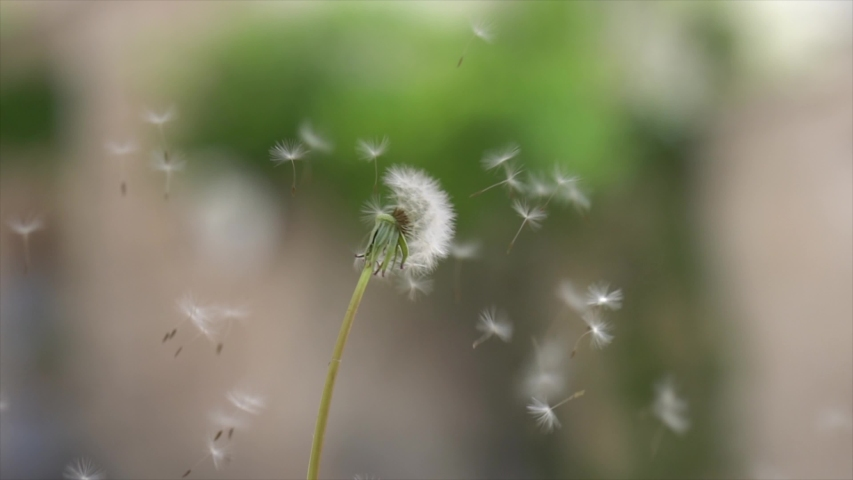 Beautiful scene with flying wild grass flower. | Shutterstock HD Video #1049574079