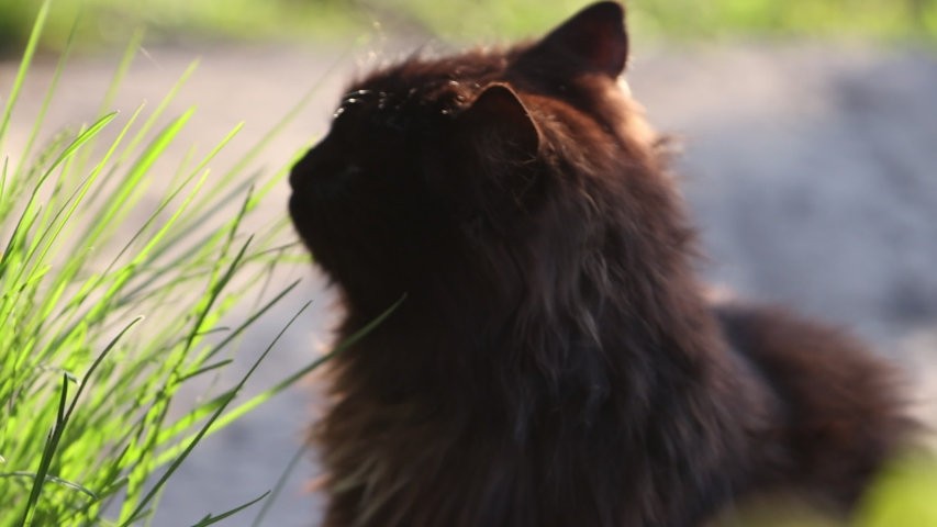 Black cat eats grass at sunrise | Shutterstock HD Video #1049874829