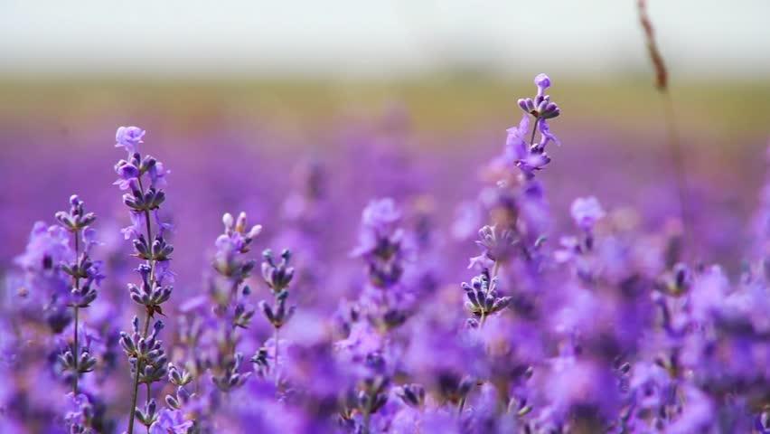 Lavender field growing lavender flower stock footage video 100 royalty free 10594049 - Lavender purple wallpaper ...