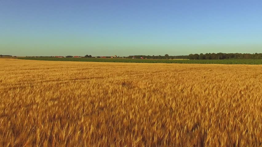 Aerial footage: Flight over the wheat field in sunset - HD stock footage clip