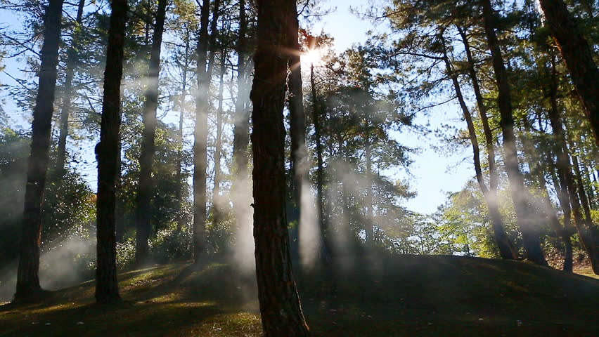 Pine forest with sunlight and fog  | Shutterstock HD Video #10630889