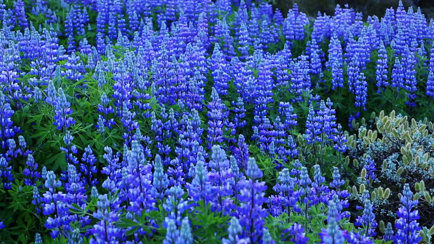 Beautiful Field Of Wildflowers Vibrant Lupines Ing In The Wind Planet Earth