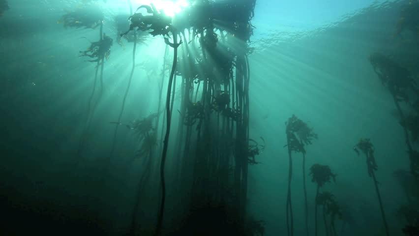 Kelp Forest Stock Footage Video | Shutterstock