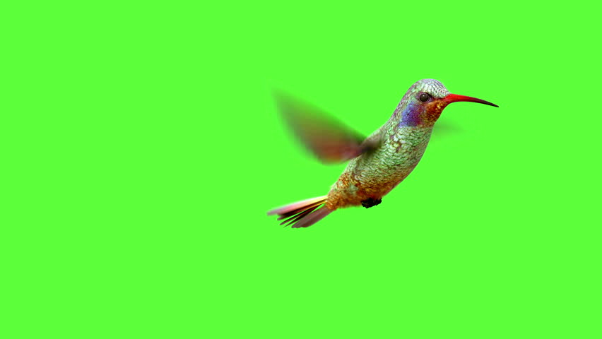 Humming bird on white and black backgrounds with an alpha matte, 3d animation  #10703939