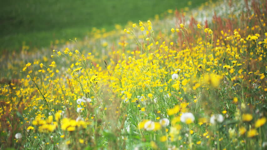 Bright Yellow Wild Flowers Blow In The Gentle Wind In A Meadow Of ...