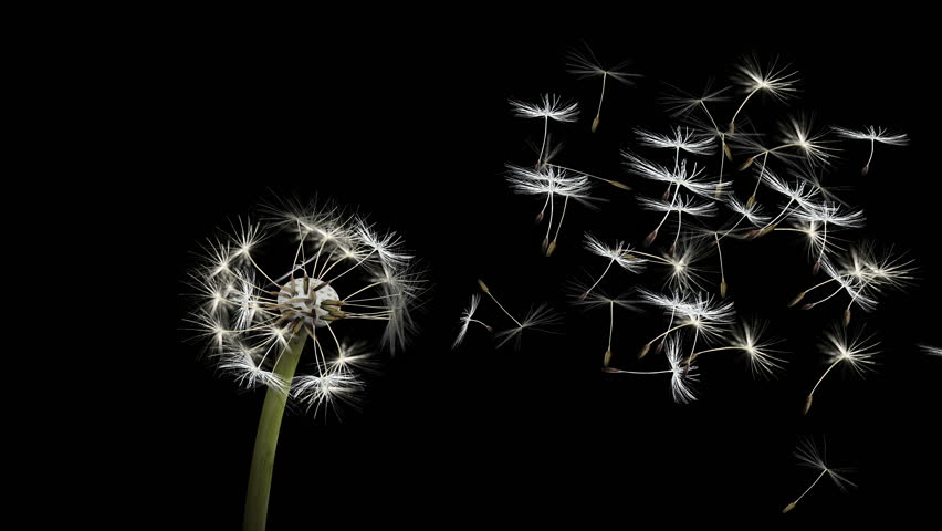 4k Dandelion Blowing Animation Slow Stock Footage Video 100