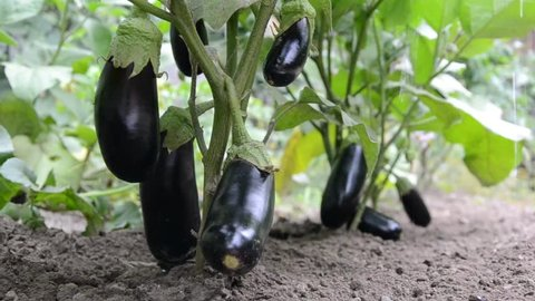 Organic young eggplants in the farmland. Slowly watering eggplants on the garden soil in the morning. Ecological organic agriculture in the summer.