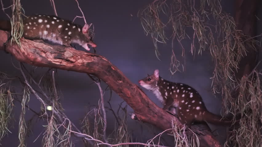 a pair of western quoll quarrelling in a tree