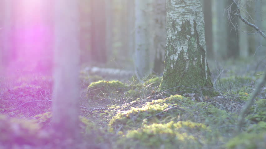 Dolly shot of a moss covered rock formation and a forest floor with birch and pine trees, sun flare