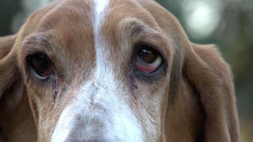Close-up portrait of Basset hound with sad eyes