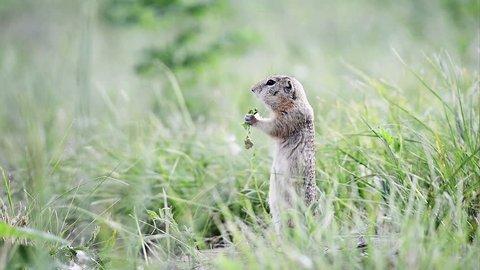 Gopher eating leaf (ground squirrel).