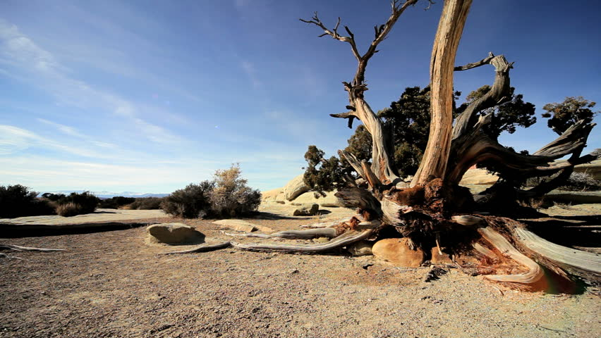 Tree thirsting for water in an environmental desert landscape
