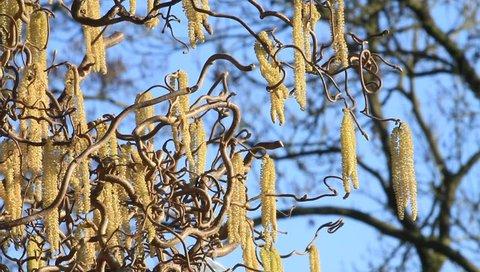 Hazel Tree Cork Bush Allergenic Plant Spring