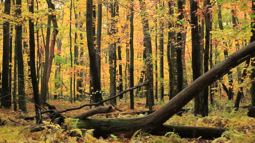 Camera dollies through a colorful autumn woods.