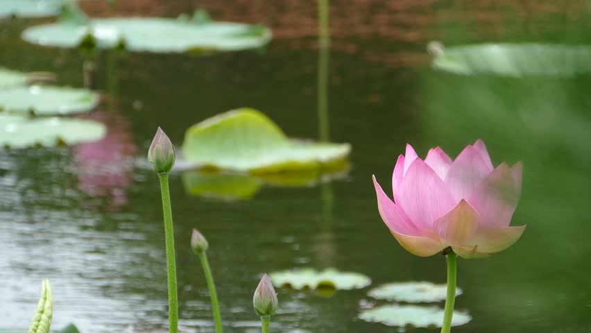 Lotus flowers and buds that bloom in midsummer of pond._29 / August 9, 2015 in Japan of the shooting in Hokkaido / Taking pond lotus flowers and buds are clustered on a hot summer day | Shutterstock HD Video #11145023
