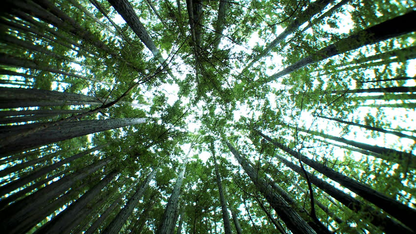 Low-angled Tracking Panorama Of A Canopy Of Tall Verdant Trees In A Clean Environmental Forest Stock Footage Video 1116049 | Shutterstock & Low-angled Tracking Panorama Of A Canopy Of Tall Verdant Trees In ...