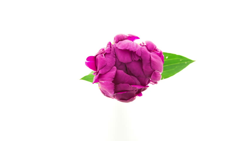Timelapse of dark purple fully double peony flower blooming on white background top view in 4K (4096x2304)