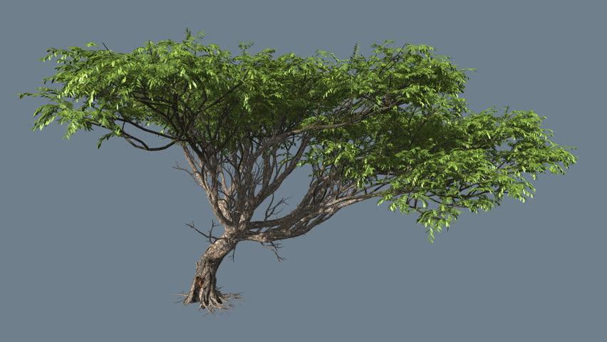 Acacia Tree On Chromakey Alfa Stock Footage Video 100 Royalty Free 11249069 Shutterstock