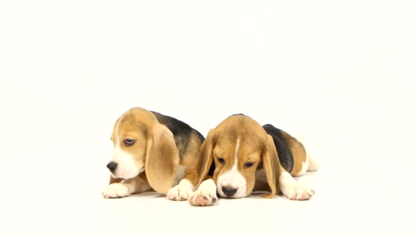 Most Inspiring Video Beagle Adorable Dog - 1  Picture_343818  .jpg