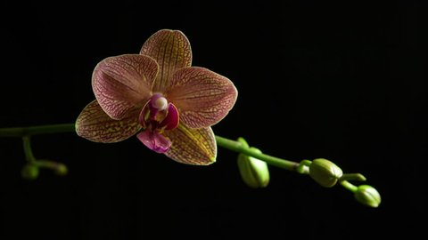 4K time lapse of an orchid bud on a stem opening, blooming and blossoming into a pink orchid flower isolated in front of a black background