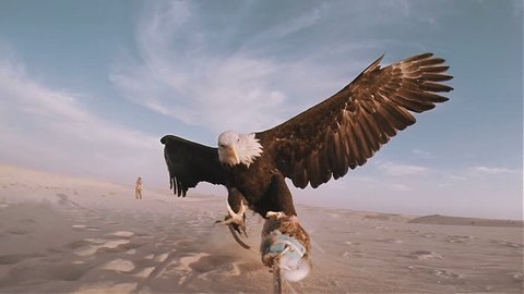 Slow motion bald eagle catching lure in the desert 100 fps