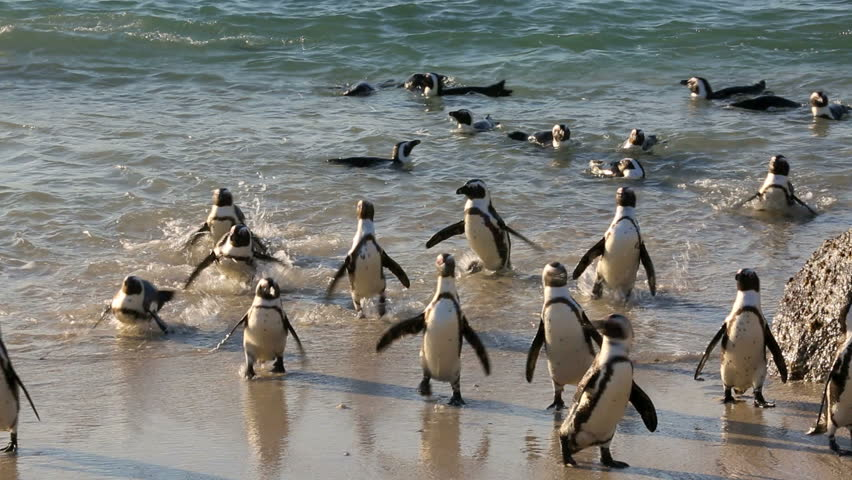 African penguins (Spheniscus demersus) on the beach and swimming at Boulder Beach, Cape Town #11386499