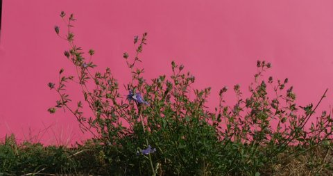 Cichorium, Croma Key,Blue Isolated Flowers among the Green Grass ,Swaying Stalks and Leaves, grass, chicory, endive, chromakey Alfa Chanal, pink screen, outdoors, studio, summer, daytime