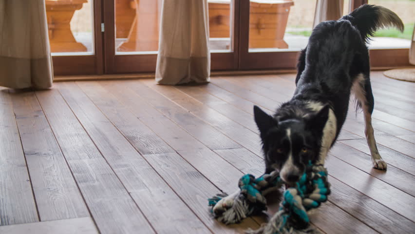 Dog Biting Rope On Floor Stock Footage Video 100 Royalty Free