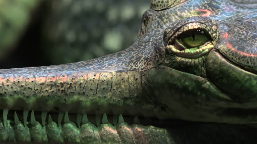 Close-up of a gharial snout (Gavialis gangeticus).