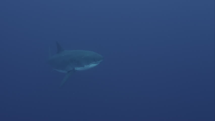 Guadalupe Island, Mexico. UW great white shark swims with other fish, 2012 | Shutterstock HD Video #11480369