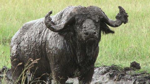 buffalo wallowing in the mud.
