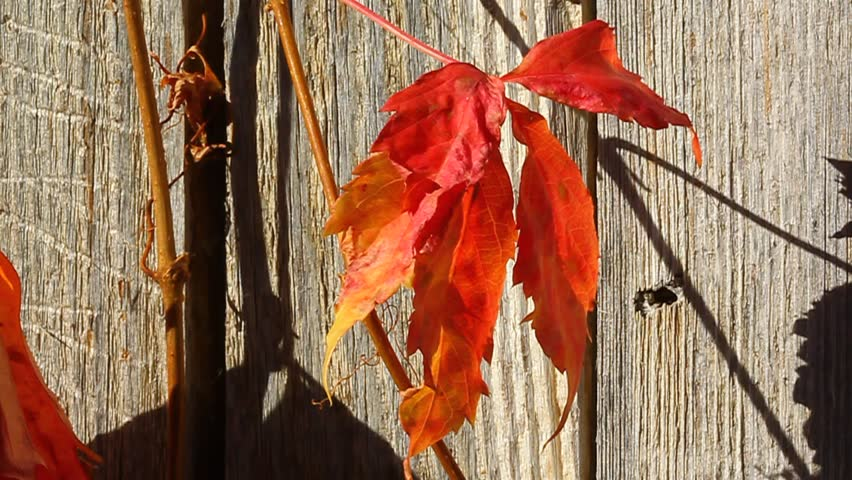 Autumn orange red ivy leaf on vine against old weathered fence