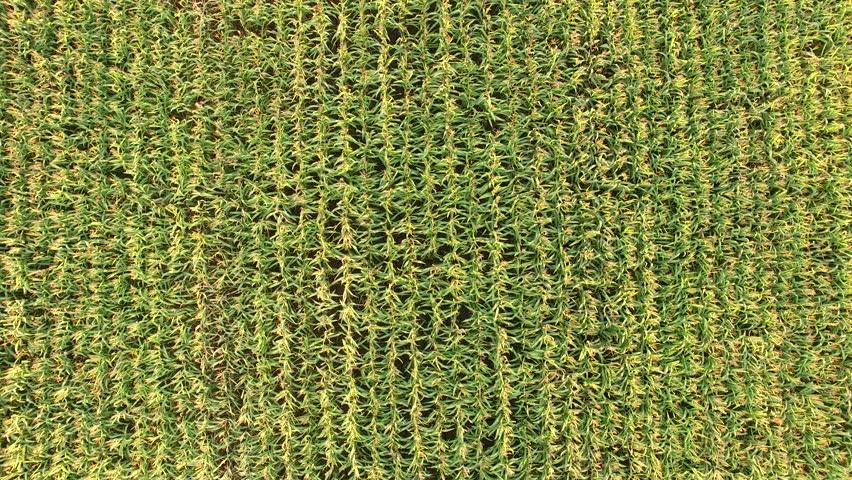 Corn field - aerial | Shutterstock HD Video #11539829