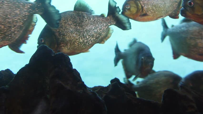 Red-Bellied Piranha in an aquarium | Shutterstock HD Video #11683469