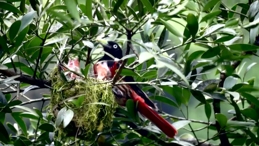 beautiful red bird feeds the baby birds