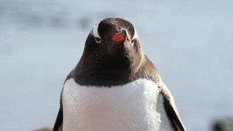 Gentoo Penguin Close up shot of Gentoo Penguin on the shore of Antarctica